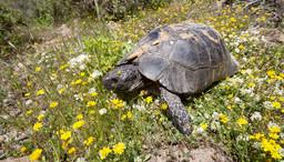 Noch eine Breitrandschildkröte. Diesmal auf der Loutesa-Hochebene. (c) Tobias Schorr