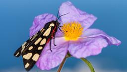 Schmetterling (Euplagia quadripunctaria) auf einer kretischen Zistrose. (c) Tobias Schorr