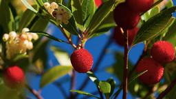 Früchte des Erdbeerbaums ( Arbutus unedo). (c) Tobias Schorr