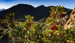 Ein Erdbeerbaum vor der Kulisse des Chelona-Vulkanmassivs. (c) Tobias Schorr