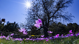 Anemonen blühen auf Methana im Dezember, März und April. Sie sind im Frühling anfangs violett und später im April blühen dann tiefrote Varianten. (c) Tobias Schorr