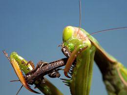 Gottesanbeterin verspeist Insekt