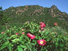 Wild roses near the Mokrisa volcano. May 1996. (c) Tobias Schorr