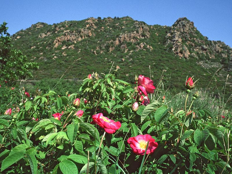 View to the volcano Mokriosa with the wild roses inside the Stavrolongos valley. May 1996. (c) Tobias Schorr