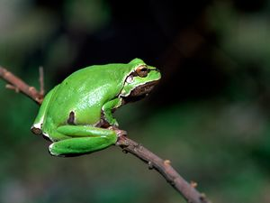 Green tree frog from Loutesa area (c) Tobias Schorr