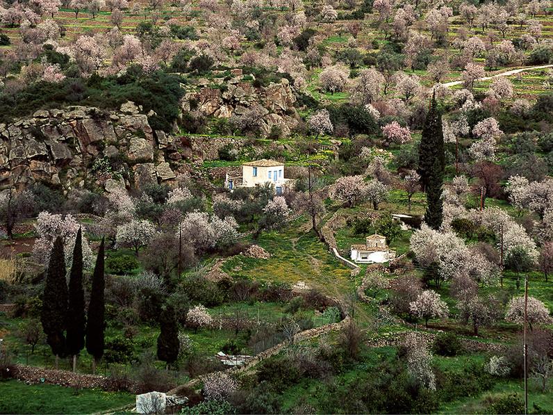 Almond blossom in February 1991. (c) Tobias Schorr