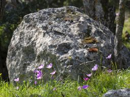Kranzanemonen vor einem vulkanischen Felsen