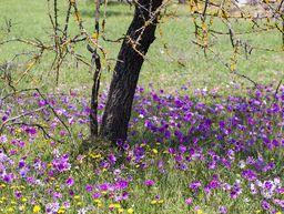 Anemonen blühen zwischen den Bäumen