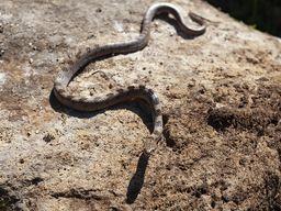 Europäische Katzennatter (Telescopus fallax). Αγιόφιδο, Γατόφιδο. Mediterranean Cat Snake.