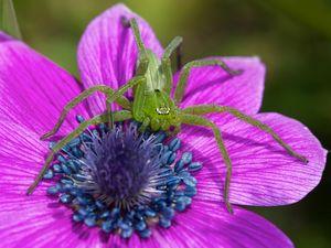 Krabbenspinne in Anemone wartet auf Bienen
