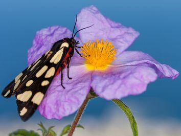 """Ein """"russischer Bär"""" - ein sehr schöner Schmetterling auf Methana"""