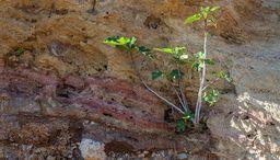 Ein kleiner Feigenbaum wächst aus den vulkanischen Ascheschichten. (c) Tobias Schorr