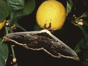 Das Nachtpfauenauge ist der größte Schmetterling auf Methana