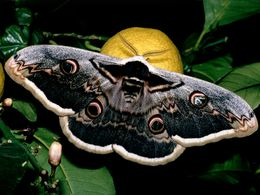 Das Nachtpfauenauge ist der größte Schmetterliung auf Methana und sehr selten!
