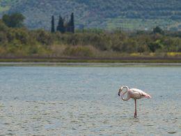 A flamingo at the lake Psifta