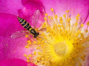 Eine Schwebefliege auf einer der wilden Rosen Methanas