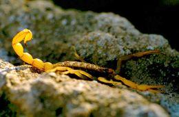 Skorpione sind nicht selten und, wenn man Steine umdreht, wird man sicher einen finden. Der Stich ist sehr schmerzhaft, aber selten gefährlich.