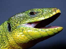 The eastern European green lizard