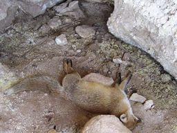 Μια αλεπού που ασφυξίασε στη μοφέτα. (c) Αλεξάνδρα Τριανταφύλλου