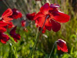 Rote Kranzanemonen blühen meist von März bis April. (c) Tobias Schorr