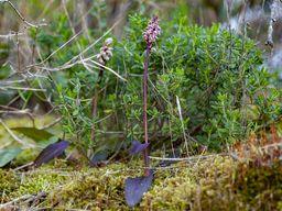 Keuschorchis vom Wegrand. Die Blüten sind gerade mal 3-5mm groß. (c) Tobias Schorr