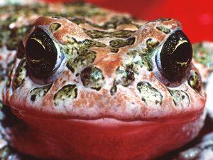 Wechselkröten findet man auf Methana meist nach dem ersten Herbstregen