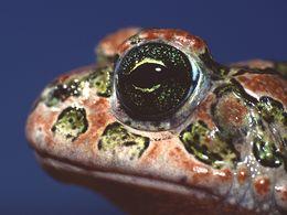 The European green toad (Bufo viridis)