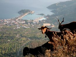 Mountain goats with a view on Methana